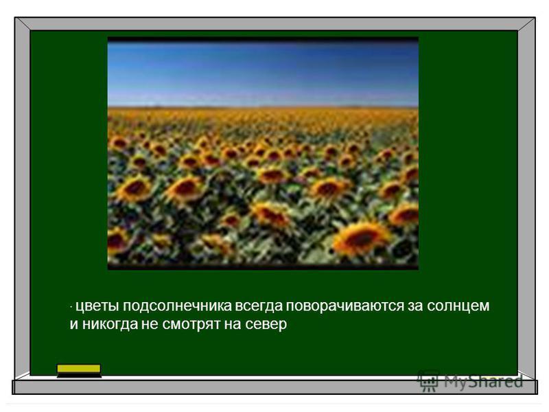 · цветы подсолнечника всегда поворачиваются за солнцем и никогда не смотрят на север