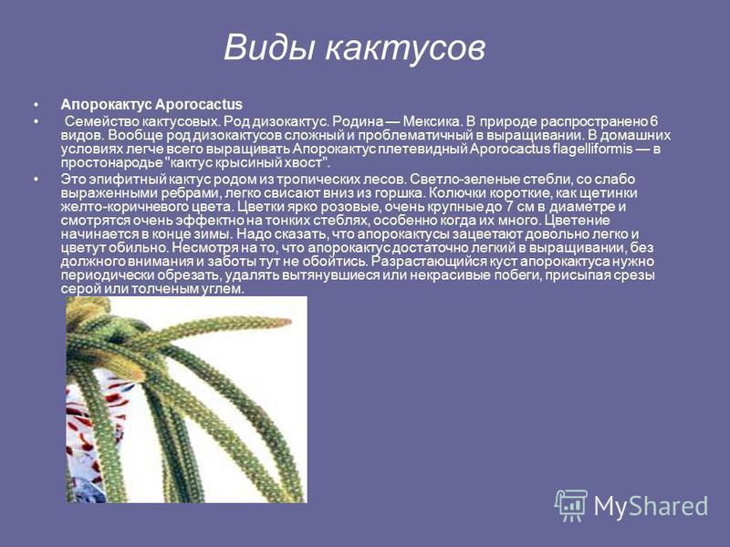 История В Древней Элладе кактусом называли колючее растение, возможно это мог быть репейник или артишок. В 1737 г. К.Линней назвал кактусами (Cactus, Cacti) небольшую группу совершенно новых для Европы растений, завезенных из Америки. В Россию кактус