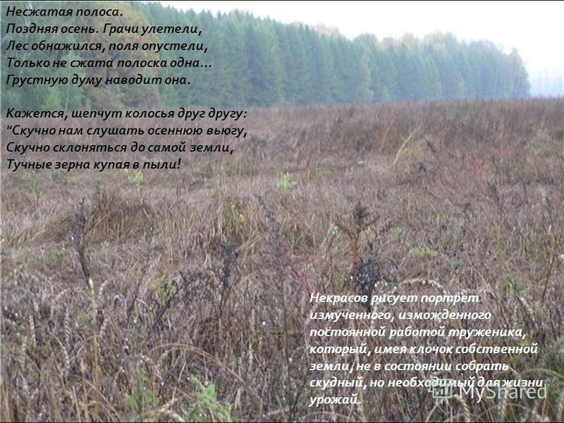 Несжатая полоса. Поздняя осень. Грачи улетели, Лес обнажился, поля опустели, Только не сжата полоска одна... Грустную думу наводит она. Кажется, шепчут колосья друг другу :