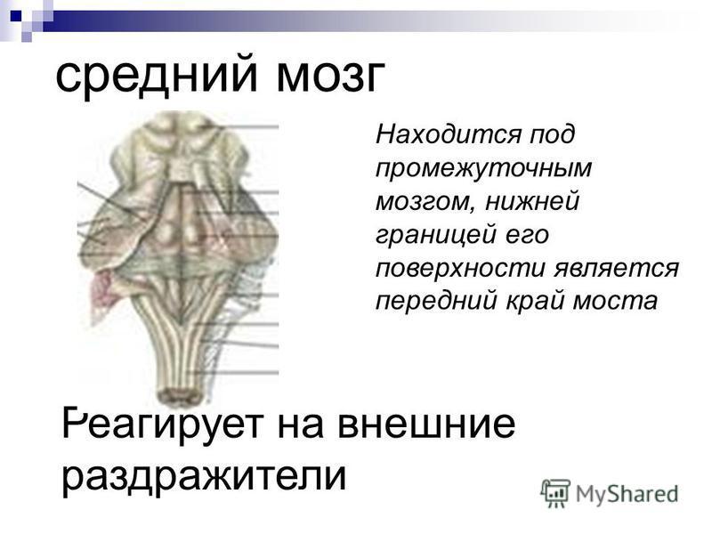 средний мозг Находится под промежуточным мозгом, нижней границей его поверхности является передний край моста Реагирует на внешние раздражители