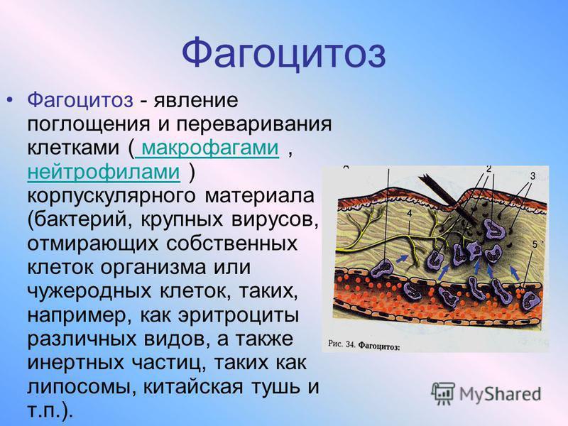 Фагоцитоз Фагоцитоз - явление поглощения и переваривания клетками ( макрофагами, нейтрофилами ) корпускулярного материала (бактерий, крупных вирусов, отмирающих собственных клеток организма или чужеродных клеток, таких, например, как эритроциты разли