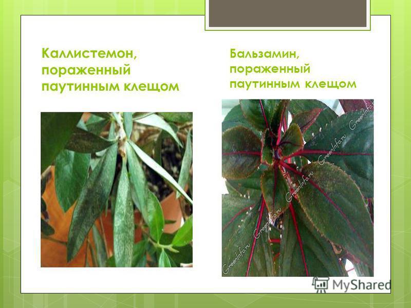 Каллистемон, пораженный паутинным клещом Бальзамин, пораженный паутинным клещом
