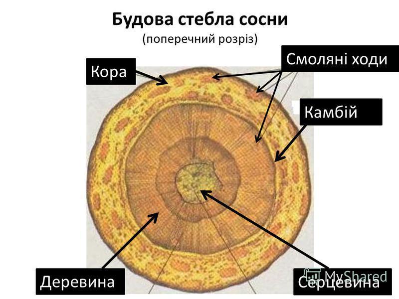 Будова стебла сосни (поперечний розріз) Кора Смоляні ходи Камбій Деревина Серцевина
