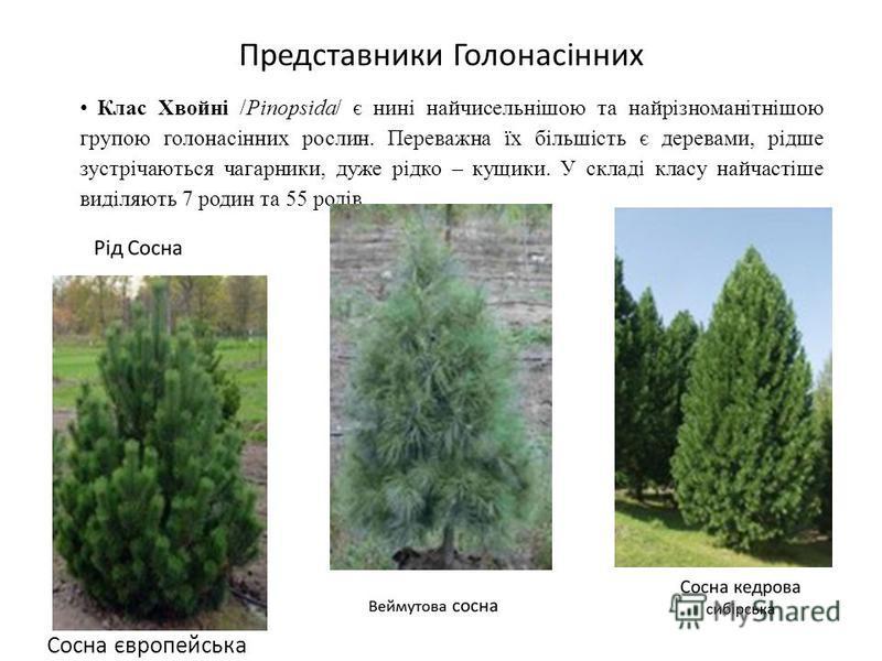 Клас Хвойні /Pinopsida/ є нині найчисельнішою та найрізноманітнішою групою голонасінних рослин. Переважна їх більшість є деревами, рідше зустрічаються чагарники, дуже рідко – кущики. У складі класу найчастіше виділяють 7 родин та 55 родів. Представни