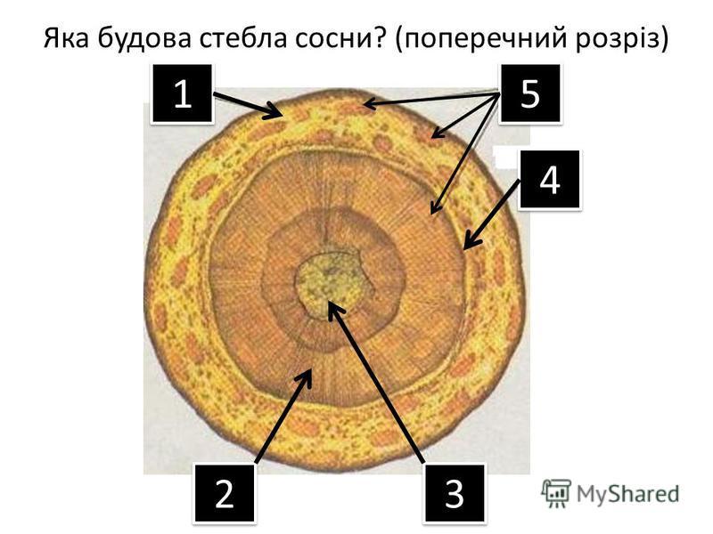 Яка будова стебла сосни? (поперечний розріз) 1 1 2 2 3 3 4 4 5 5