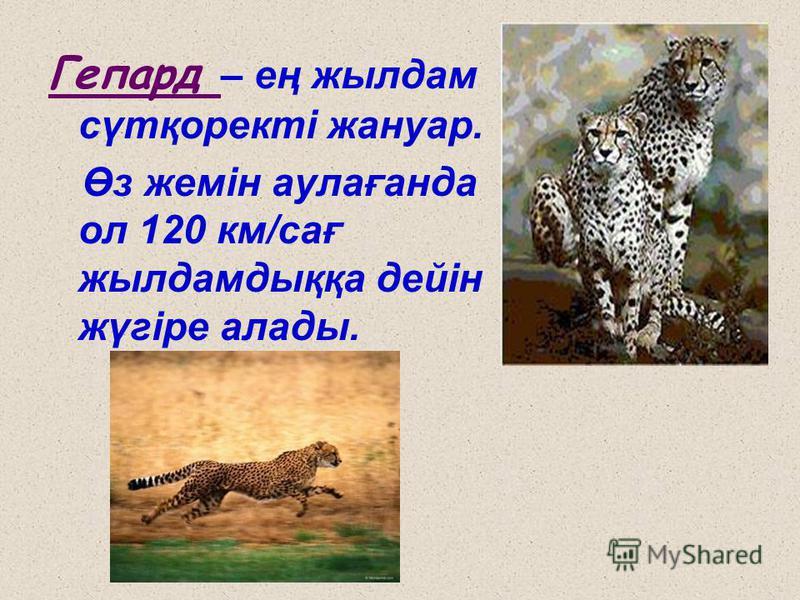 Гепард – ең жылдам сүтқоректі жануар. Өз жемін аулағанда ол 120 км/сағ жылдамдыққа дейін жүгіре алады.