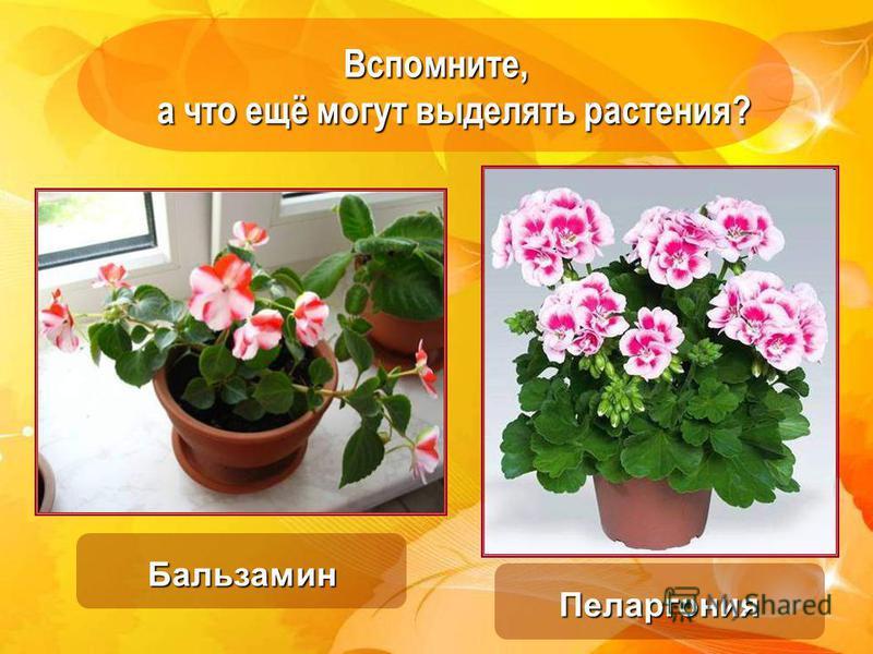Вспомните, а что ещё могут выделять растения? а что ещё могут выделять растения? Бальзамин Пеларгония