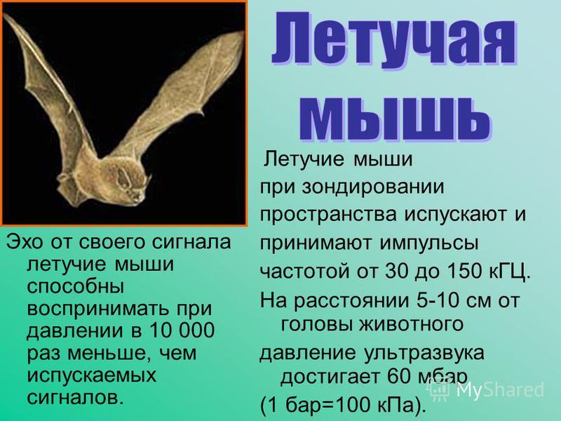 Эхо от своего сигнала летучие мыши способны воспринимать при давлении в 10 000 раз меньше, чем испускаемых сигналов. Летучие мыши при зондировании пространства испускают и принимают импульсы частотой от 30 до 150 кГЦ. На расстоянии 5-10 см от головы