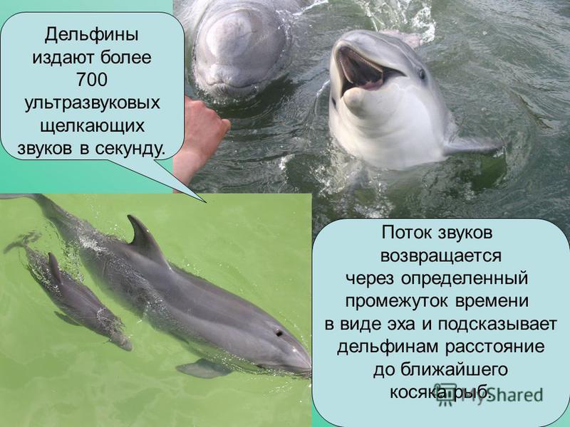 Дельфины издают более 700 ультразвуковых щелкающих звуков в секунду. Поток звуков возвращается через определенный промежуток времени в виде эха и подсказывает дельфинам расстояние до ближайшего косяка рыб.