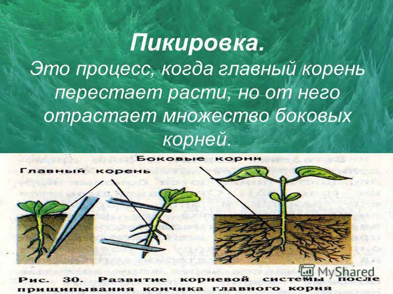 Пикировка. Это процесс, когда главный корень перестает расти, но от него отрастает множество боковых корней.
