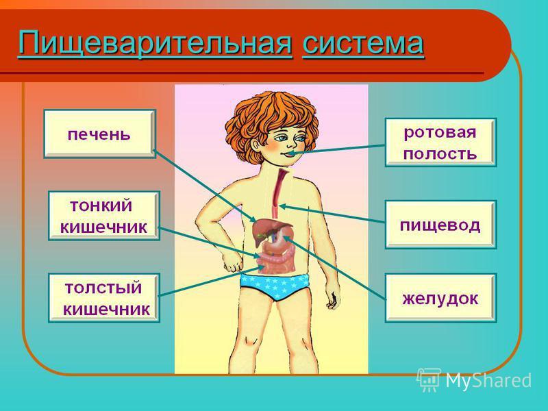 Пищеварительнаясистема Пищеварительная система