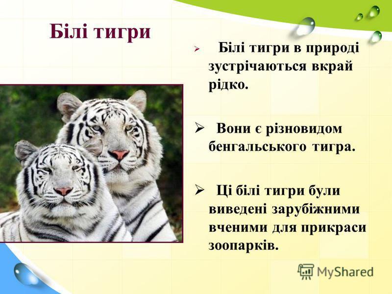 Білі тигри Білі тигри в природі зустрічаються вкрай рідко. Вони є різновидом бенгальського тигра. Ці білі тигри були виведені зарубіжними вченими для прикраси зоопарків.