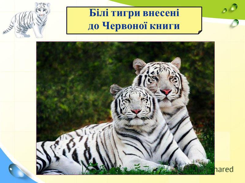 Білі тигри внесені до Червоної книги