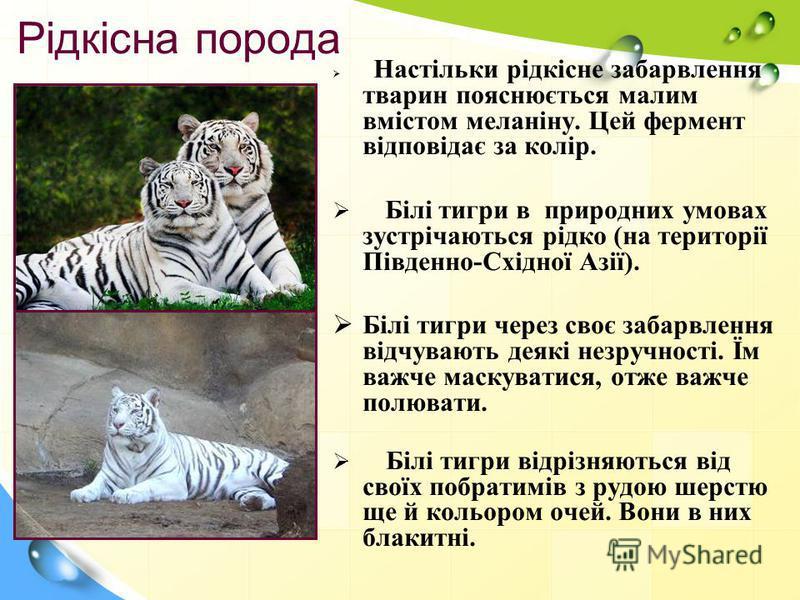 Рідкісна порода Настільки рідкісне забарвлення тварин пояснюється малим вмістом меланіну. Цей фермент відповідає за колір. Білі тигри в природних умовах зустрічаються рідко (на території Південно-Східної Азії). Білі тигри через своє забарвлення відчу