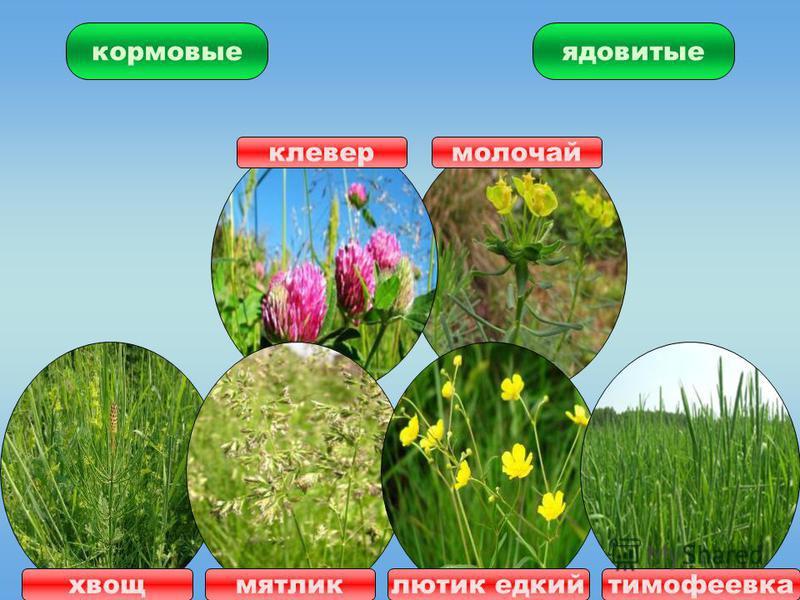 ЛУГ травы цветы растения животные насекомые звери птицы значение для человека корм для домашних животных ядовитые кормовые
