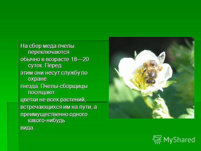 На сбор меда пчелы переключаются обычно в возрасте 1820 суток. Перед этим они несут службу по охране гнезда. Пчелы-сборщицы посещают цветки не всех растений, встречающихся им на пути, а преимущественно одного какого-нибудь вида.