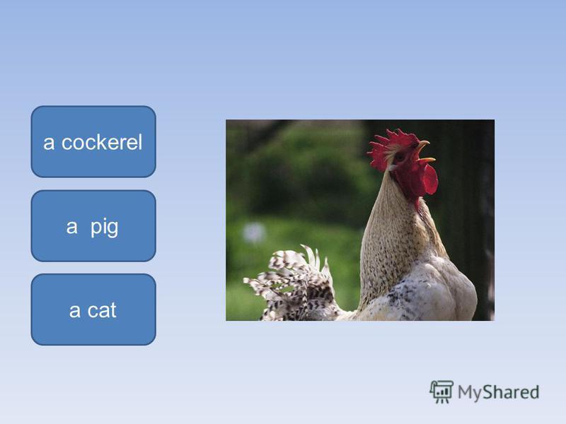 a cockerel a cat a pig