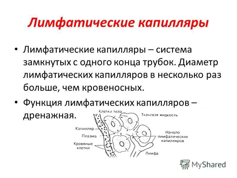 Лимфатические капилляры Лимфатические капилляры – система замкнутых с одного конца трубок. Диаметр лимфатических капилляров в несколько раз больше, чем кровеносных. Функция лимфатических капилляров – дренажная.