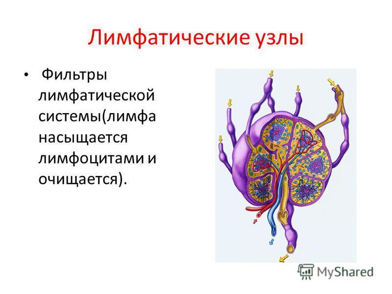 Лимфатические узлы Фильтры лимфатической системы(лимфа насыщается лимфоцитами и очищается).