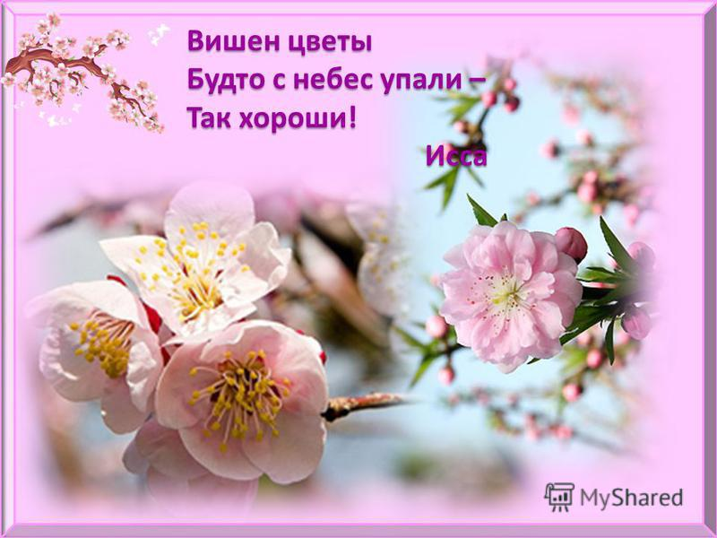 Вишен цветы Будто с небес упали – Так хороши! Исса Исса
