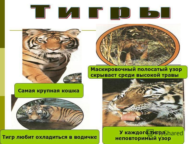 Тигр любит охладиться в водичке У каждого тигра неповторимый узор Маскировочный полосатый узор скрывает среди высокой травы Самая крупная кошка