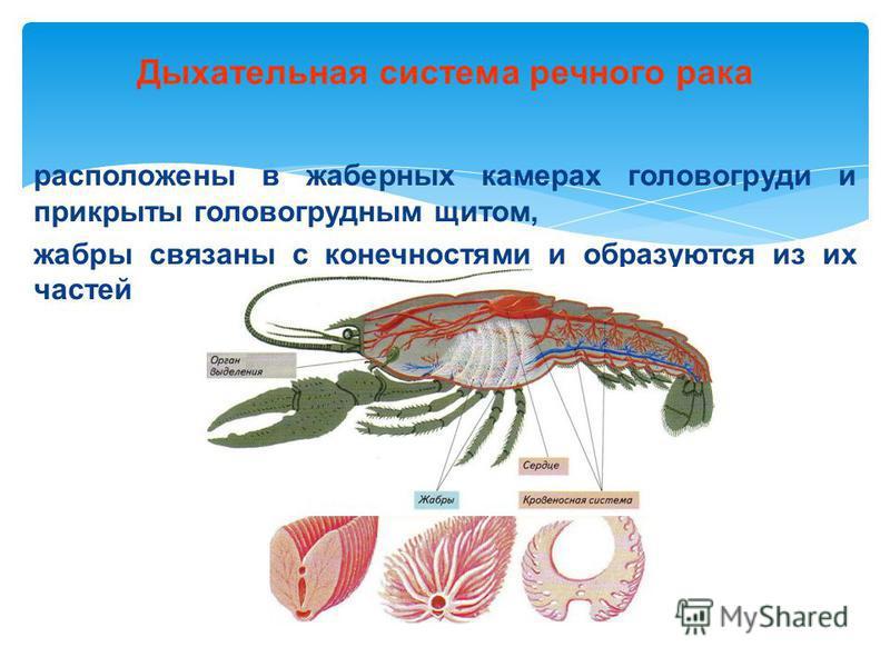 Дыхательная система речного рака расположены в жаберных камерах головогруди и прикрыты головогрудным щитом, жабры связаны с конечностями и образуются из их частей
