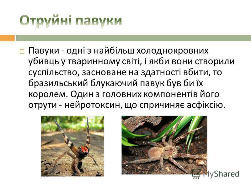 Павуки - одні з найбільш холоднокровних убивць у тваринному світі, і якби вони створили суспільство, засноване на здатності вбити, то бразильський блукаючий павук був би їх королем. Один з головних компонентів його отрути - нейротоксин, що спричиняє