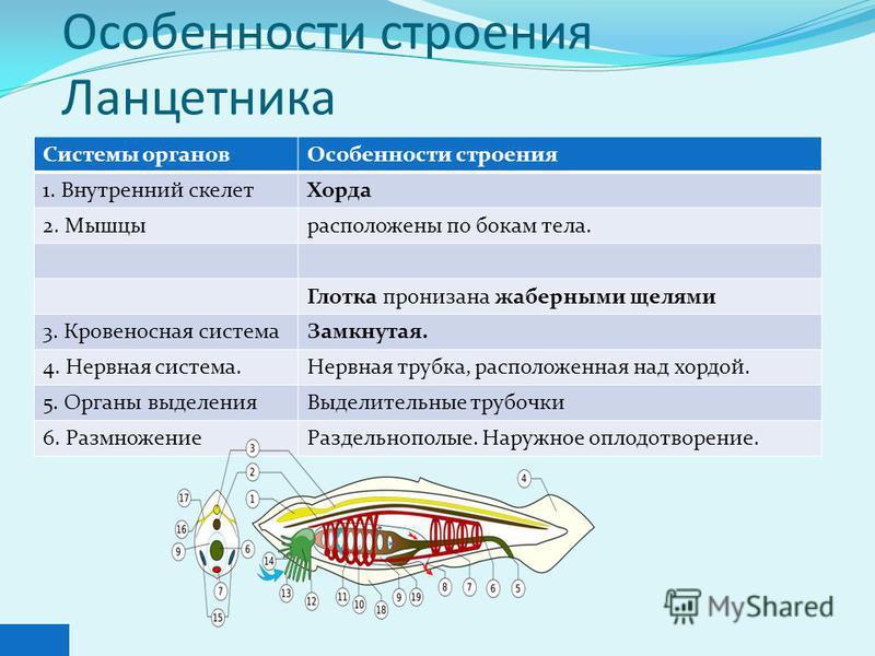 Особенности строения Ланцетника Системы органов Особенности строения 1. Внутренний скелет Хорда 2. Мышцырасположены по бокам тела. Глотка пронизана жаберными щелями 3. Кровеносная система Замкнутая. 4. Нервная система.Нервная трубка, расположенная на