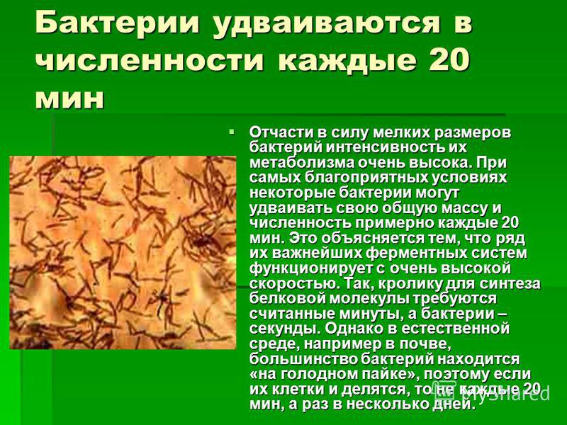 Бактении удваиваются в численности каждые 20 мин Отчасти в силу мелких размеров бактерий интенсивность их метаболизма очень высока. При самых благоприятных условиях некоторые бактении могут удваивать свою общую массу и численность примерно каждые 20