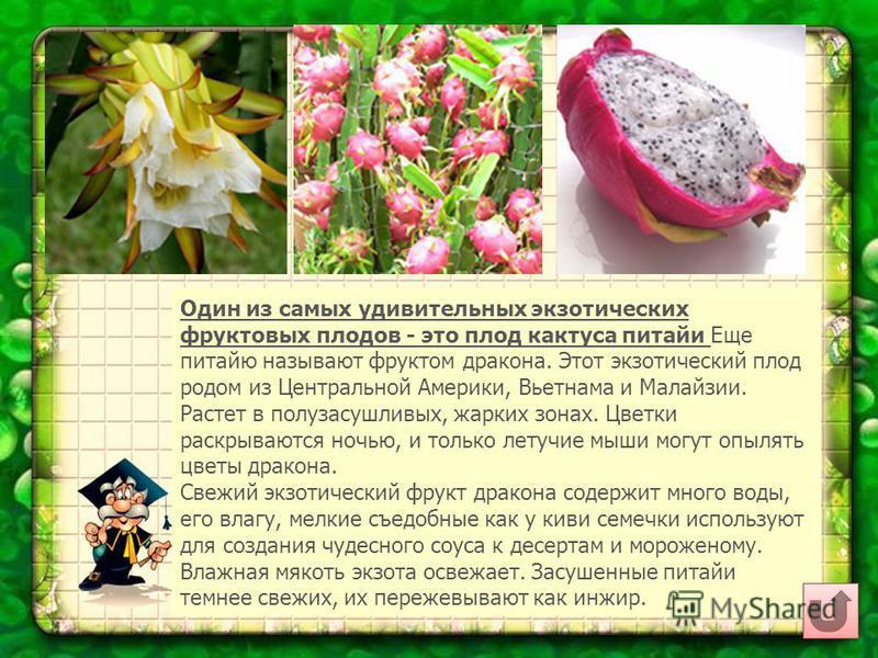 Один из самых удивительных экзотических фруктовых плодов - это плод кактуса питайи Еще питайю называют фруктом дракона. Этот экзотический плод родом из Центральной Америки, Вьетнама и Малайзии. Растет в полузасушливых, жарких зонах. Цветки раскрывают