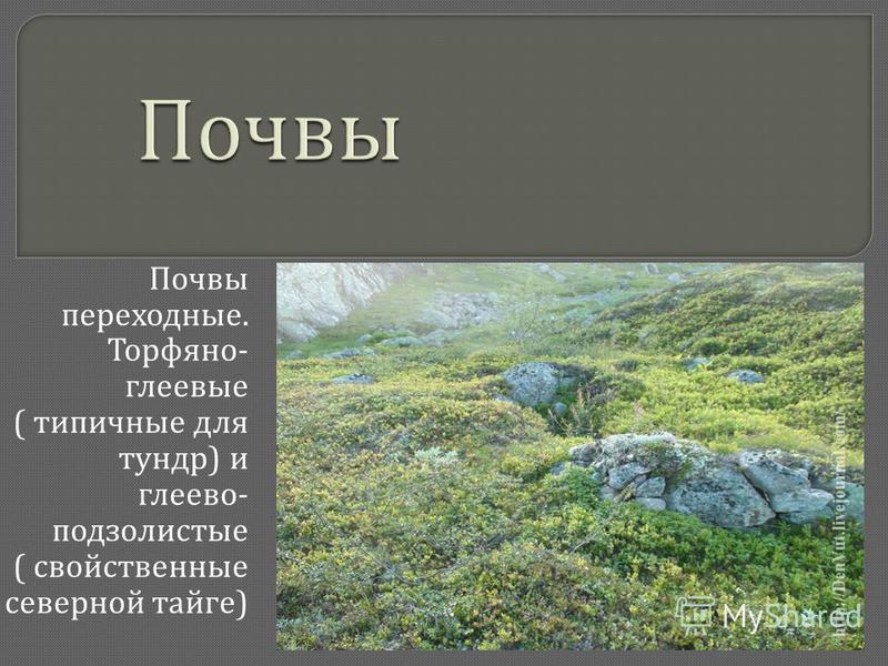 Почвы переходные. Торфяно - глеевые ( типичные для тундр ) и глеево - подзолистые ( свойственные северной тайге )