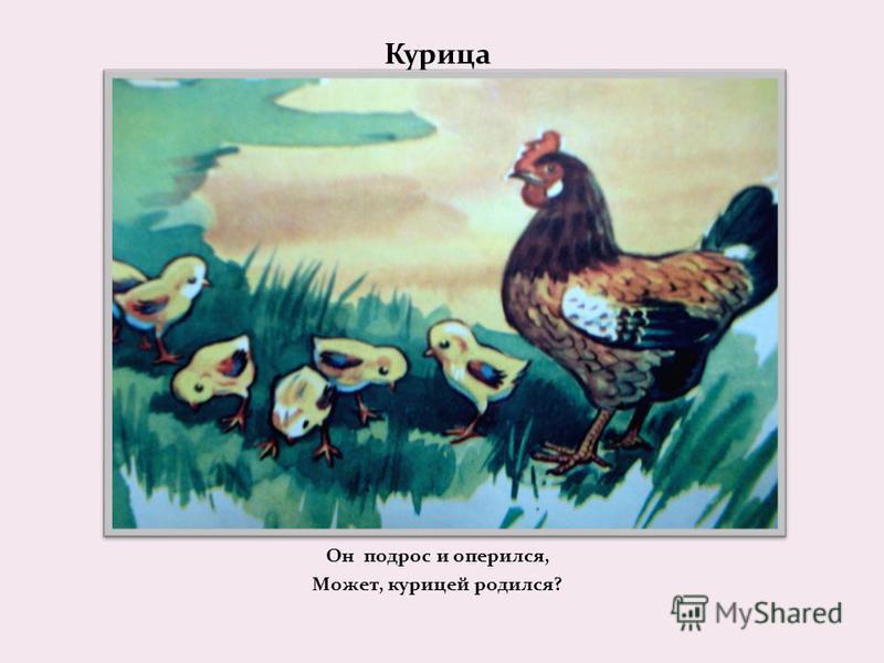 Курица Он подрос и оперился, Может, курицей родился?