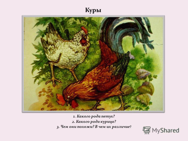 Куры 1. Какого рода петух? 2. Какого рода курица? 3. Чем они похожи? В чем их различие ?