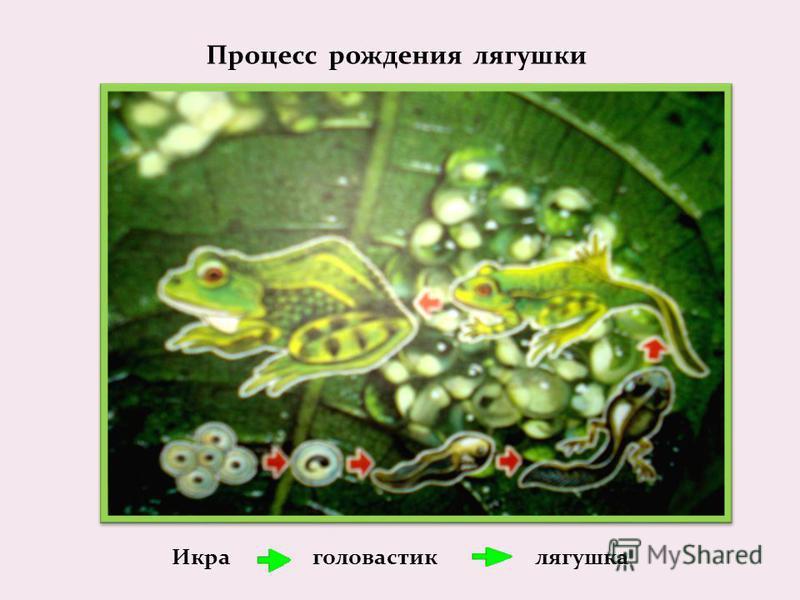 Процесс рождения лягушки Икра головастик лягушка