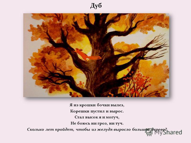 Дуб Я из крошки бочки вылез, Корешки пустил и вырос. Стал высок я и могуч, Не боюсь ни гроз, ни туч. Сколько лет пройдет, чтобы из желудя выросло большое дерево?