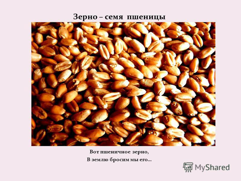 Зерно – семя пшеницы Вот пшеничное зерно, В землю бросим мы его…