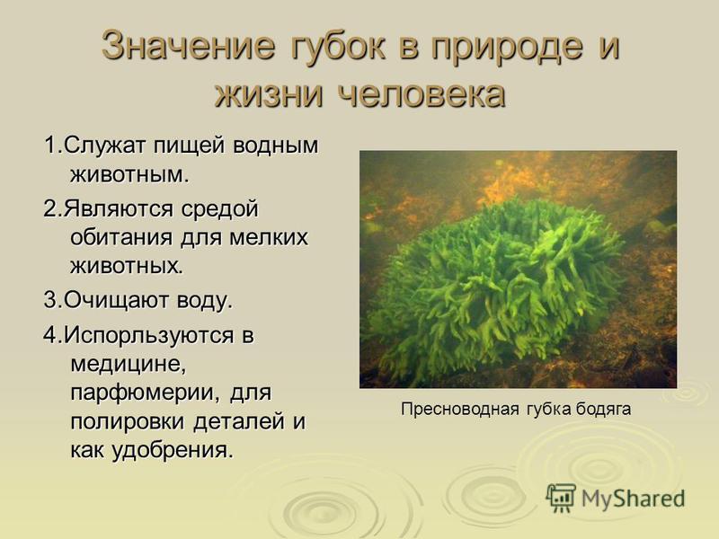 Значение губок в природе и жизни человека 1. Служат пищей водным животным. 2. Являются средой обитания для мелких животных. 3. Очищают воду. 4. Испорльзуются в медицине, парфюмерии, для полировки деталей и как удобрения. Пресноводная губка бодяга