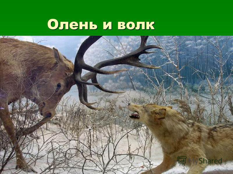 Олень и волк Олень и волк