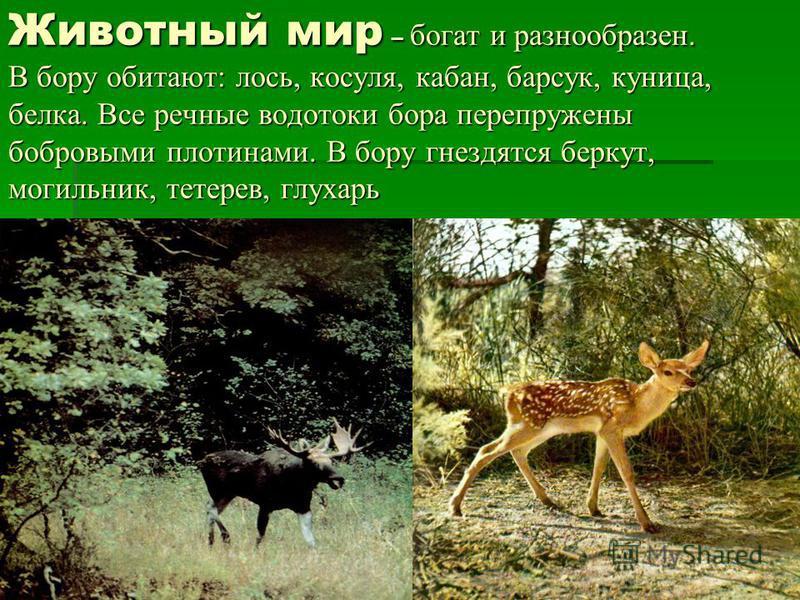Животный мир – богат и разнообразен. В бору обитают: лось, косуля, кабан, барсук, куница, белка. Все речные водотоки бора перепружены бобровыми плотинами. В бору гнездятся беркут, могильник, тетерев, глухарь