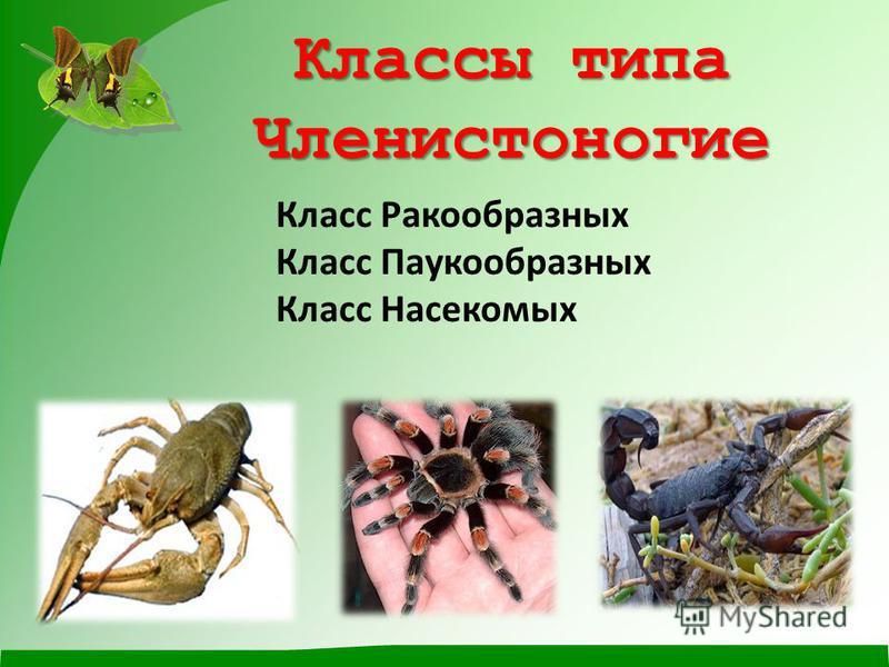 Классы типа Членистоногие Класс Ракообразных Класс Паукообразных Класс Насекомых