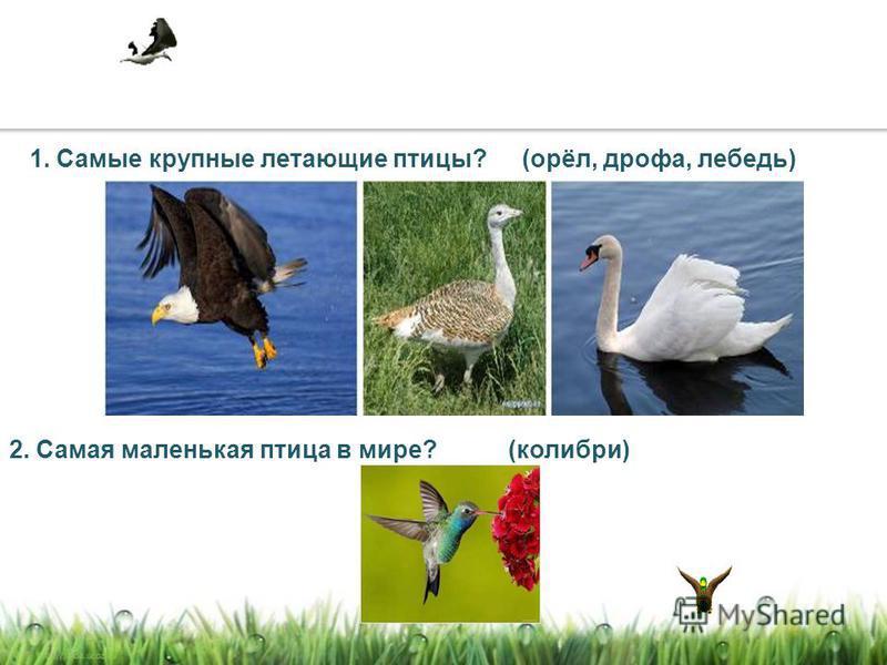 1. Самые крупные летающие птицы? 2. Самая маленькая птица в мире? (орёл, дрофа, лебедь) (колибри)