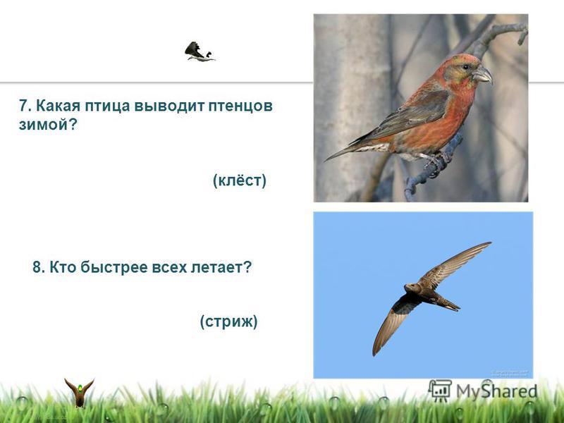 7. Какая птица выводит птенцов зимой? 8. Кто быстрее всех летает? (клёст) (стриж)