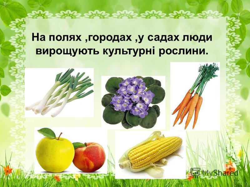 На полях,городах,у садах люди вирощують культурні рослини.