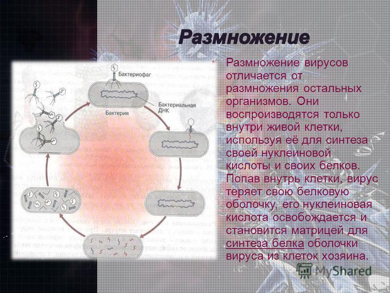 Размножение вирусов отличается от размножения остальных организмов. Они воспроизводятся только внутри живой клетки, используя её для синтеза своей нуклеиновой кислоты и своих белков. Попав внутрь клетки, вирус теряет свою белковую оболочку, его нукле