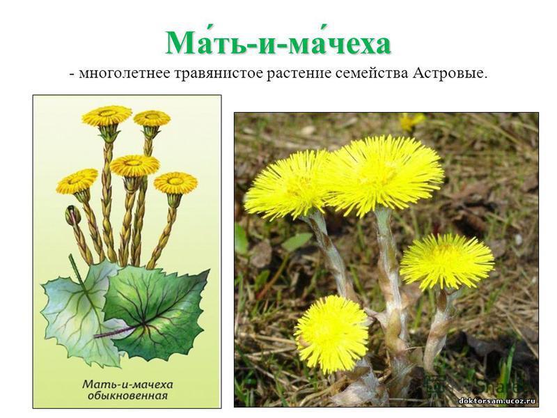 Ма́ть-и-ма́чеха Ма́ть-и-ма́чеха - многолетнее травянистое растение семейства Астровые.