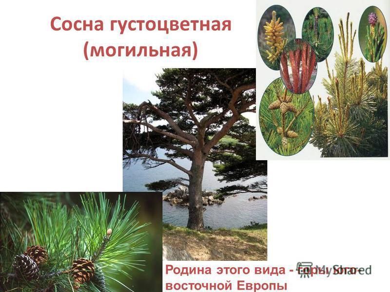 Сосна густоцветная (могильная) Родина этого вида - горы юго- восточной Европы