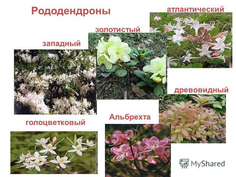 Рододендроны атлантический золотистый западный древовидный Альбрехта голоцветковый