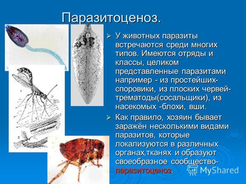 Паразитоценоз. У животных паразиты встречаются среди многих типов. Имеются отряды и классы, целиком представленные паразитами например - из простейших- споровики, из плоских червей- трематоды(сосальщики), из насекомых -блохи, вши. У животных паразиты