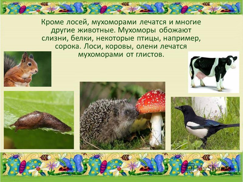 Кроме лосей, мухоморами лечатся и многие другие животные. Мухоморы обожают слизни, белки, некоторые птицы, например, сорока. Лоси, коровы, олени лечатся мухоморами от глистов.