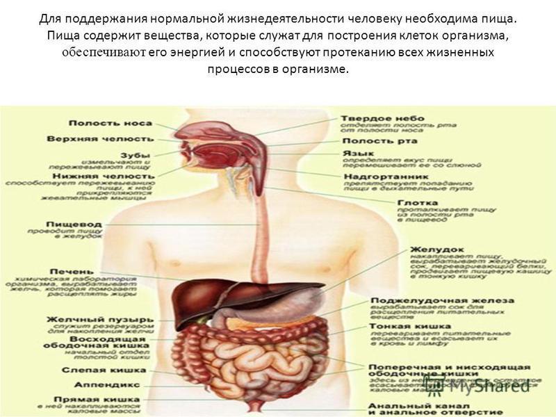 Для поддержания нормальной жизнедеятельности человеку необходима пища. Пища содержит вещества, которые служат для построения клеток организма, обеспечивают его энергией и способствуют протеканию всех жизненных процессов в организме.